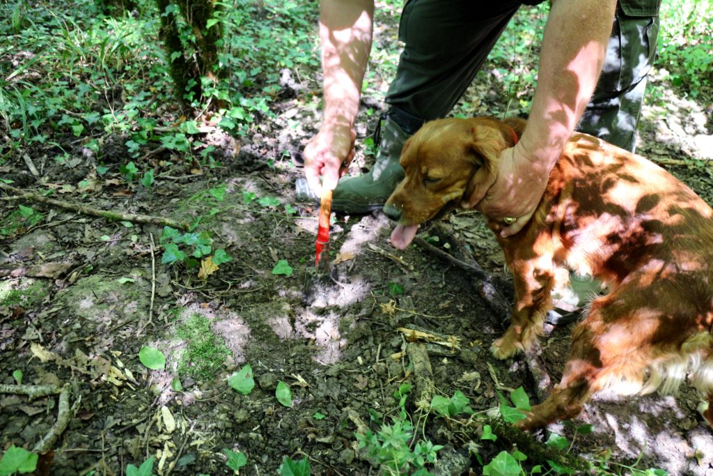 Truffle hunting in Istria