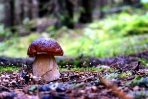 Introduction to Boletus mushroom (Porcini mushroom)
