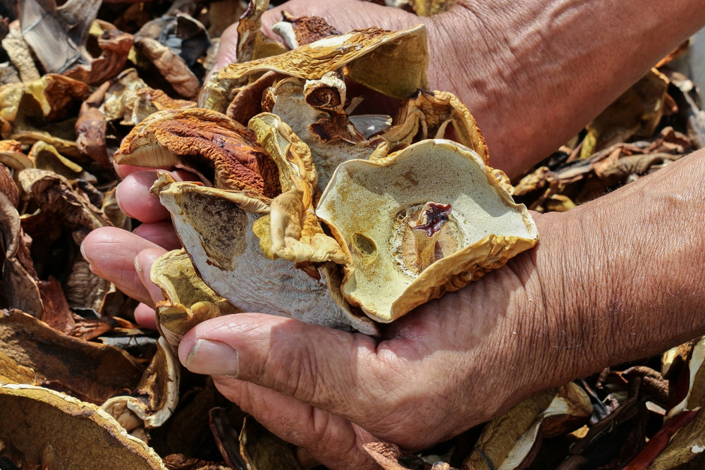 Dried Boletus in two hands