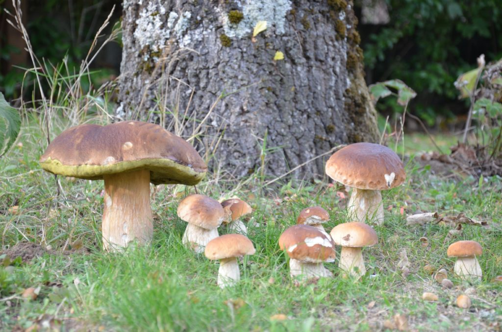 Boletus mushrooms are a mycorrhizal mushroom, which grows in symbiosis with specific trees
